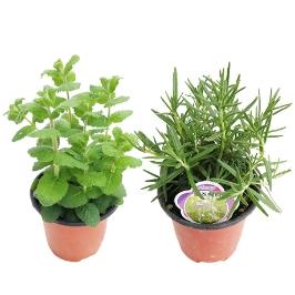 꽃집아가씨 향기로운 허브식물 1+1
