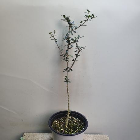 올리브나무 아르베키나 119