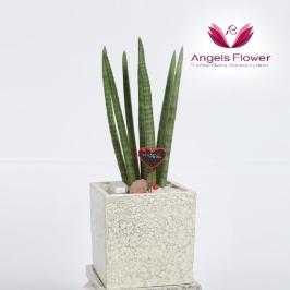 [엔젤스플라워] 스투키_기본형 전국꽃배달서비스 공기정화관엽식물