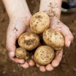 [더싸다특가] 19년 노지 수미 햇 감자 10kg(특사이즈)_TJPP15