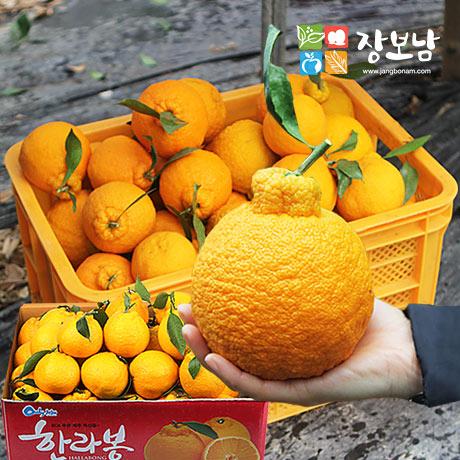 [갓신선] 제주 한라봉 9kg(41-50과)★판매자추천